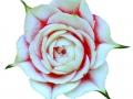ROSA THAI 2.jpg